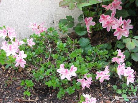 flowerbush01